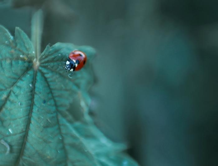 biedronka, ladybug