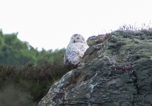 Snowy Owl, Anglesey