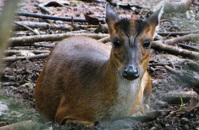 common muntjac,Muntiacus muntjak,  Barking deer, Indian muntjac, arunachal hunting, indian mammal