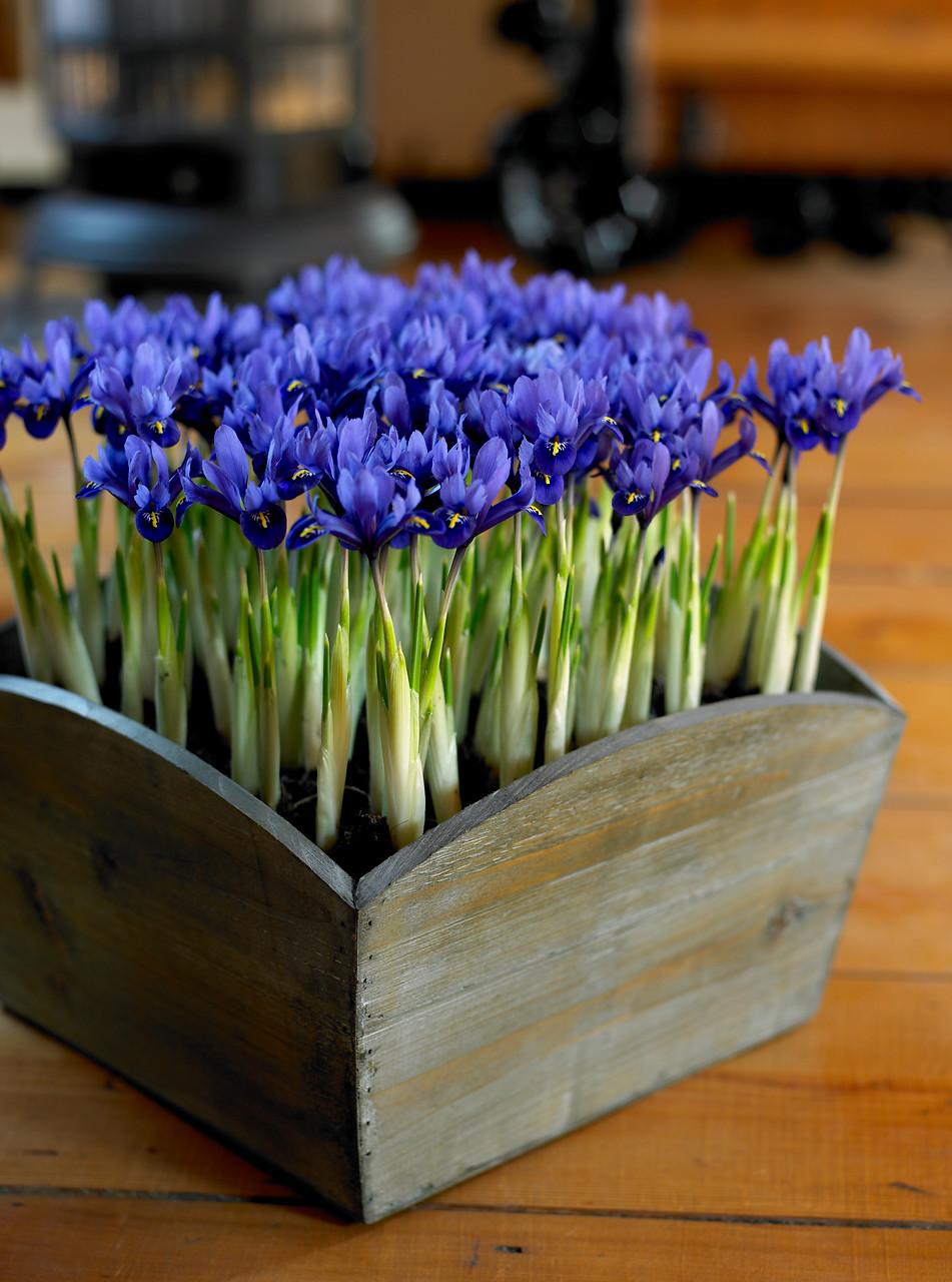 Flores de iris enanos color azul en caja de madera