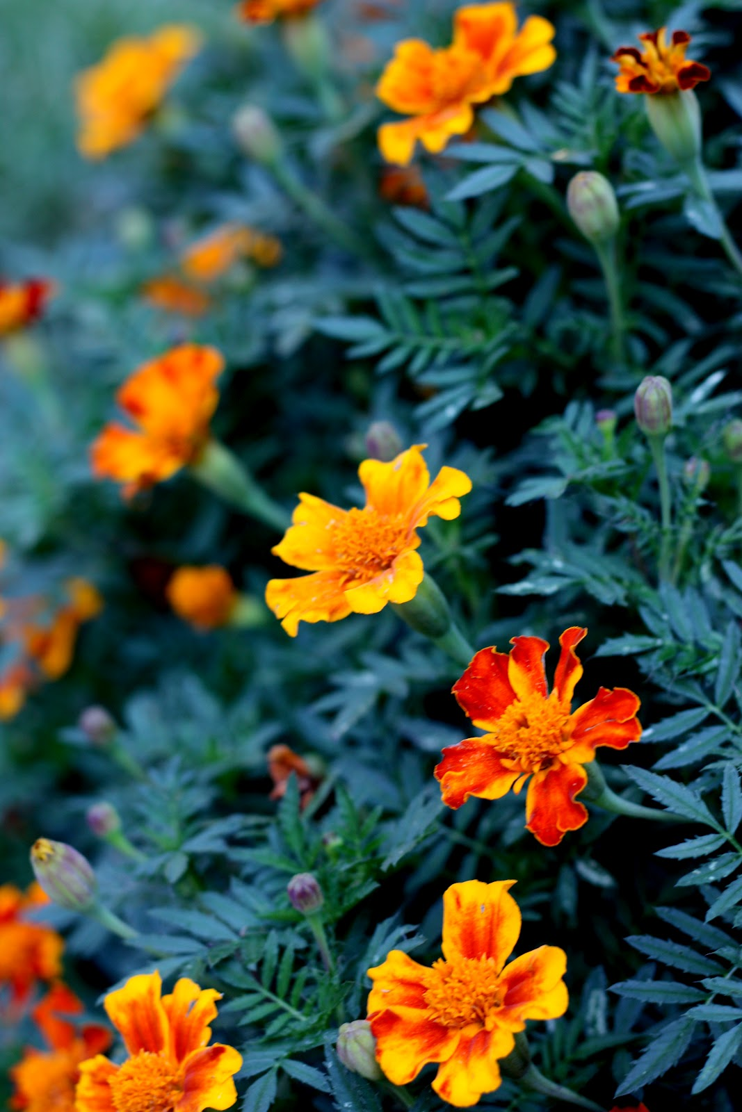 The Marigold Tarot Major Arcana The: The Red Chair Blog: How To Save Marigold Seeds