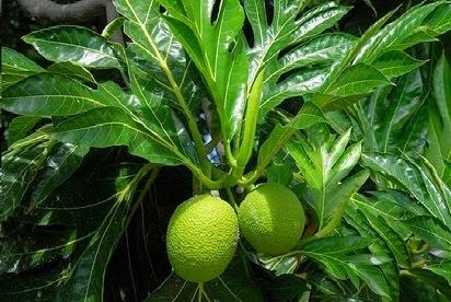 manfaat daun sukun untuk ginjal,sukun dan cara mengolahnya,sukun untuk jantung,sukun untuk kesehatan,untuk obat,khasiat daun sukun untuk diabetes,kegunaan daun sukun,