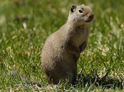 Uinta Ground Squirrel - Animals That Start With U