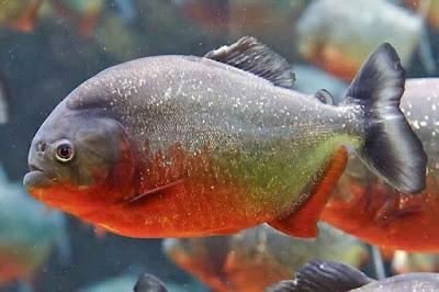 Ikan Red Belly Piranha