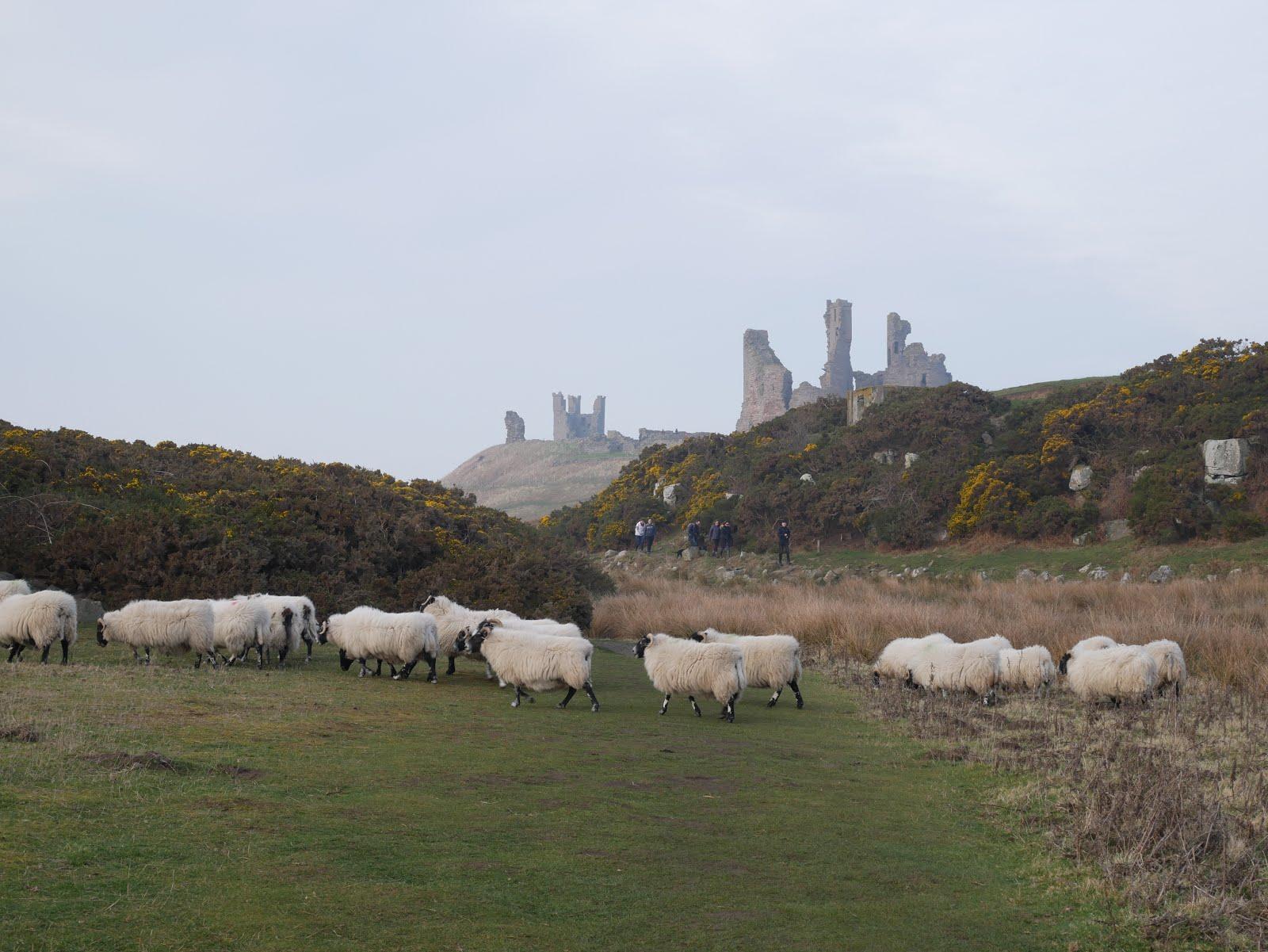 Sheep near Dunstanburgh Castle, Northumberland