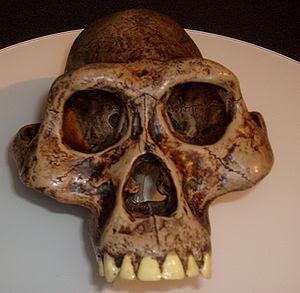 आस्ट्रेलोपिथिकस, ओल्डुवर् गोर्ज की खोज कब हुई