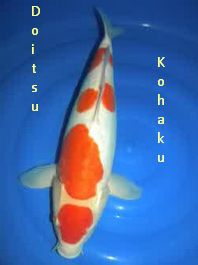 Jenis Ikan Koi Kohaku  doitsu kohaku