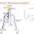 What are Thermoreceptors