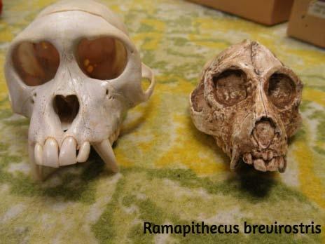 Ramapithecus Brevistoris