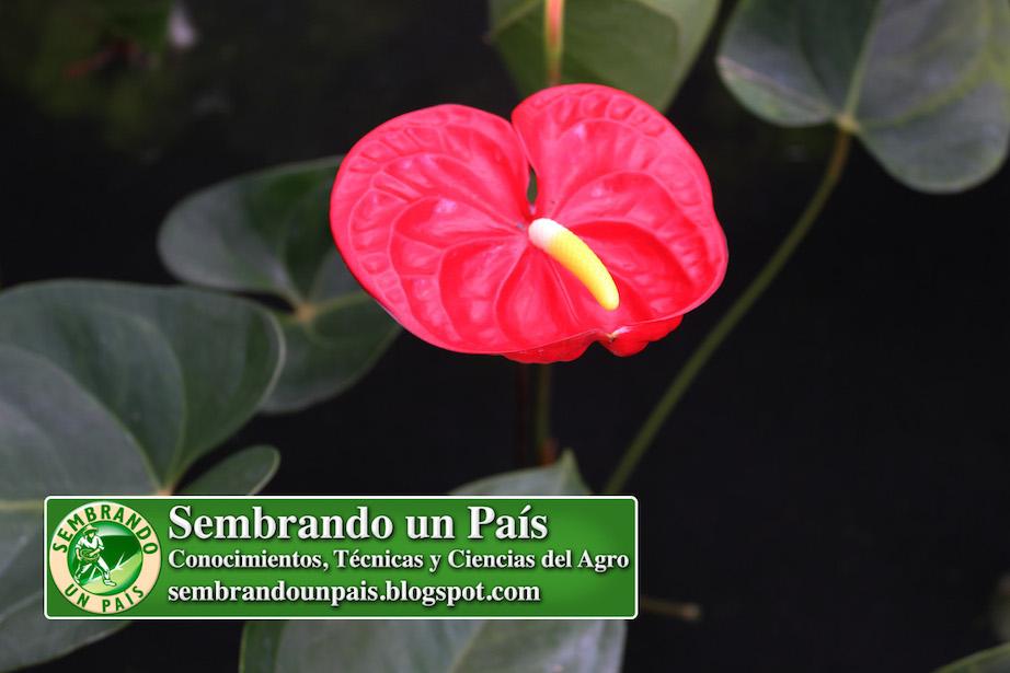 anthurium flor roja grande