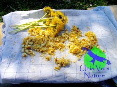 Cuisine pissenlit, identification,ligules, fleurs, stage plantes sauvages Jura