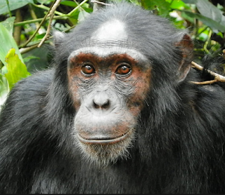 5 Days Uganda Safari trekking Chimpanzees and Gorilla tracking , Chimpanzee tracking, tracking over 12 primates in Kibale National Park.