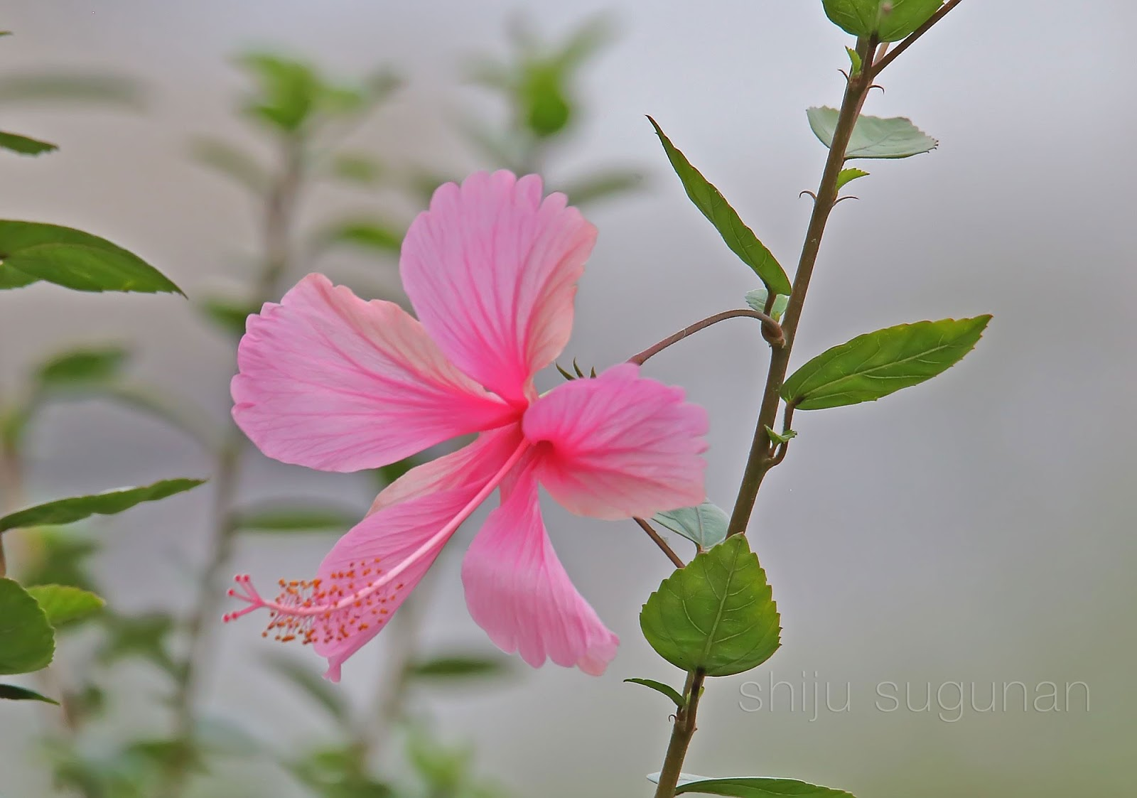 Hibiscus Bloom Photo by @shijuvenate