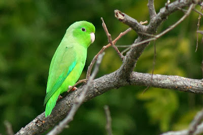 Green rumpled parrotlet