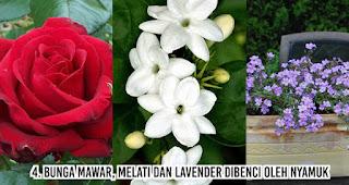 Bunga Mawar, melati dan Lavender Dibenci Oleh Nyamuk