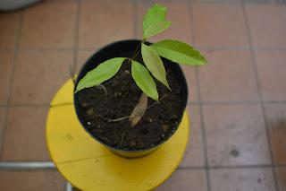 Jaca o jackfruit: Artocarpus heterophyllus