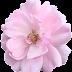 Rose flower 5090