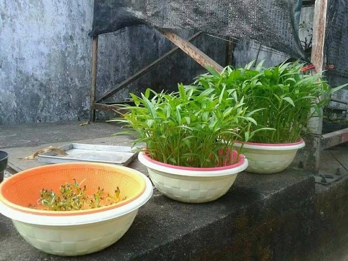 Cara menanam kangkung hidroponik dalam rumah praktis