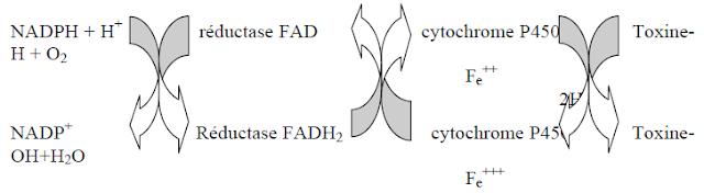 détoxification - réaction d'oxydation
