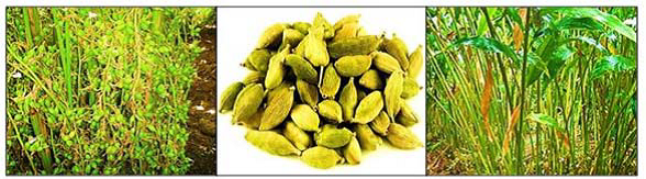 The major use of cardamom is culinary purpose for flavoring food