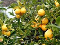 Yuk, Mari Percantik Pekarangan Rumah dengan Menanam Lemon!