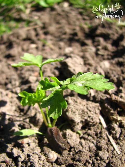 warzywnik w maju i czerwcu, warzywnik w maju, warzywnik w czerwcu, ogród przydomowy