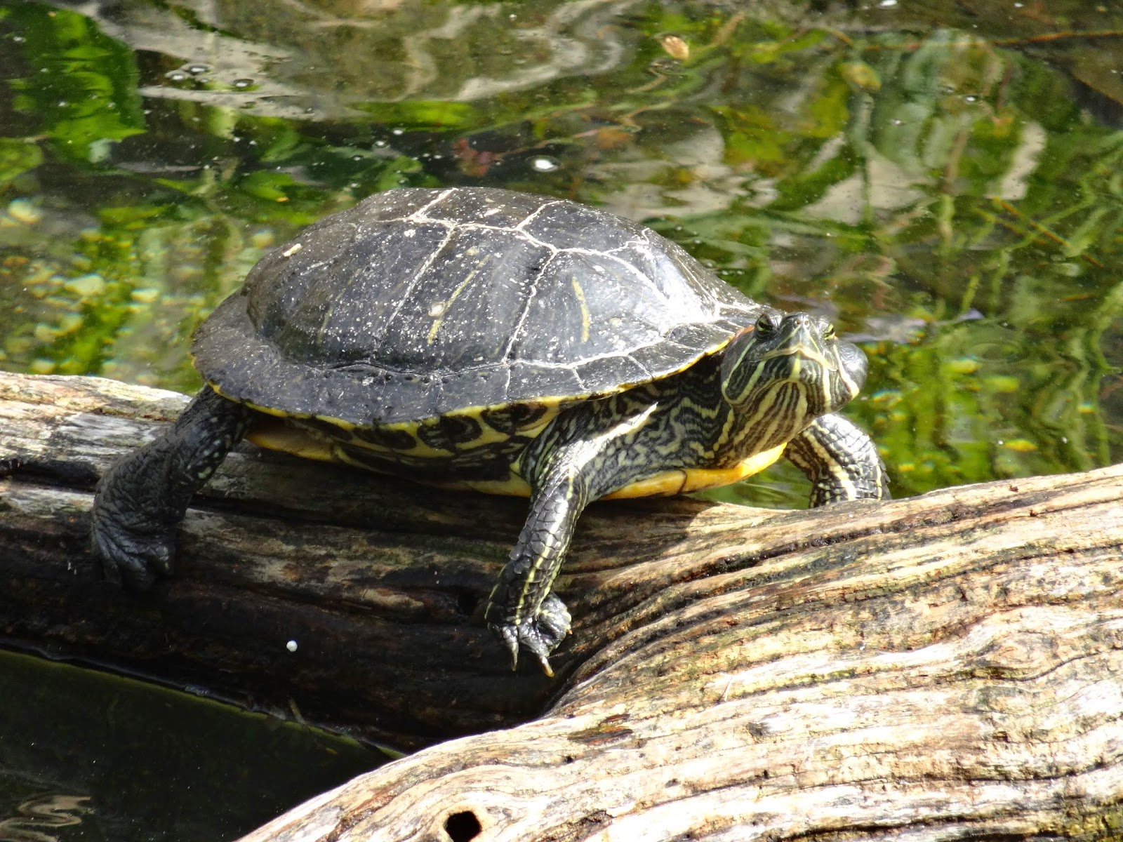Love, Joy and Peas: Cute Sunning Turtles for Wild Wednesday