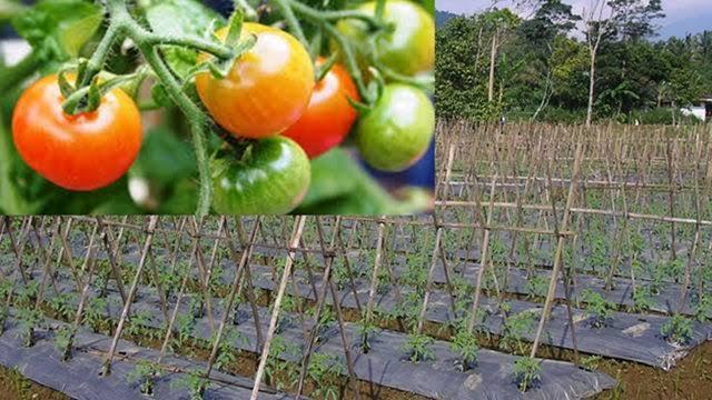 Cara Menanam Tomat yang Baik