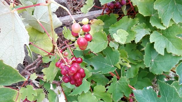 Des vignes résistantes au mildiou (vidéo)