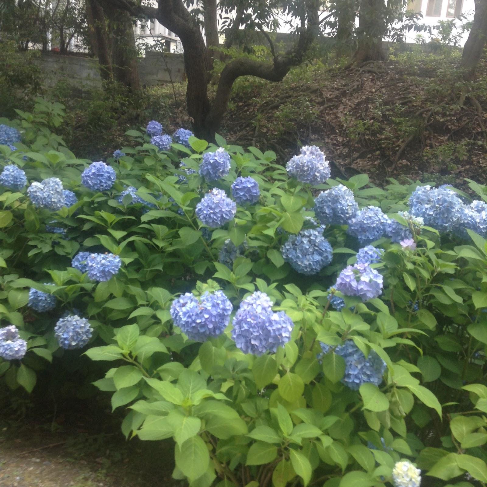 Chishakuin hydrangea Kyoto