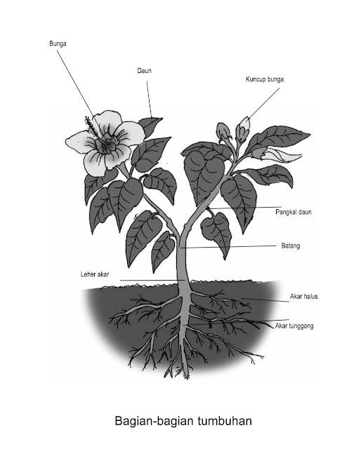 Bagian-bagian Tumbuhan dan Fungsinya