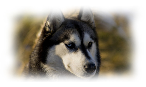 Bad Habits And Solutions Of Siberian Huskies