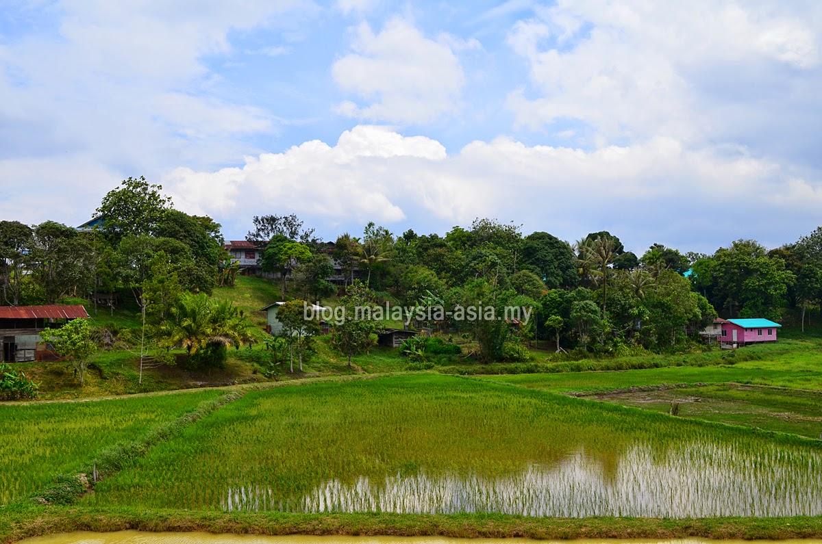 Laman padi Bario
