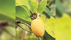 Pohon Ramin