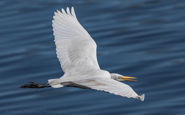Great egret low flying over the Diep River, Woodbridge Island - Image Copyright Vernon Chalmers