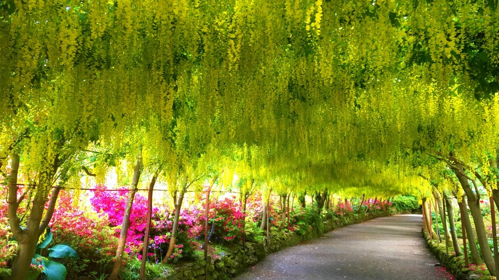 Pérgola formando un túnel de racimos de flores amarillas de laburno (Laburnum x watereri 'Vossii')