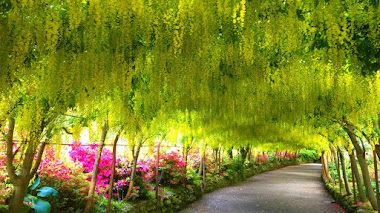 Laburnum Arch en Bodnant Garden, el tunel de flores de laburno más antiguo y largo del Reino Unido