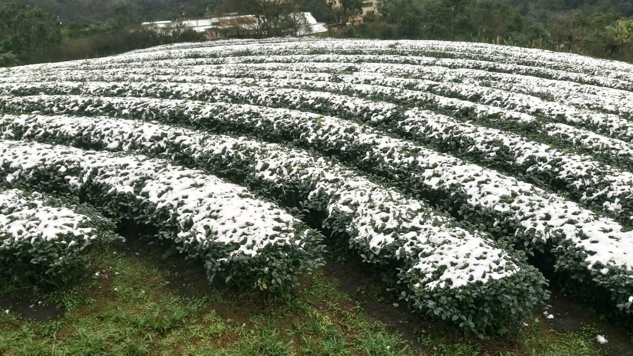 蒔常茶作坊: 茶葉寒害與霜害