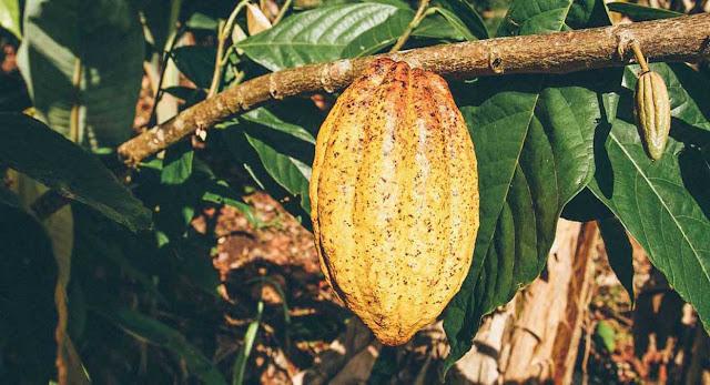 cacao fruit luscious un-roasted chocolate Raaka