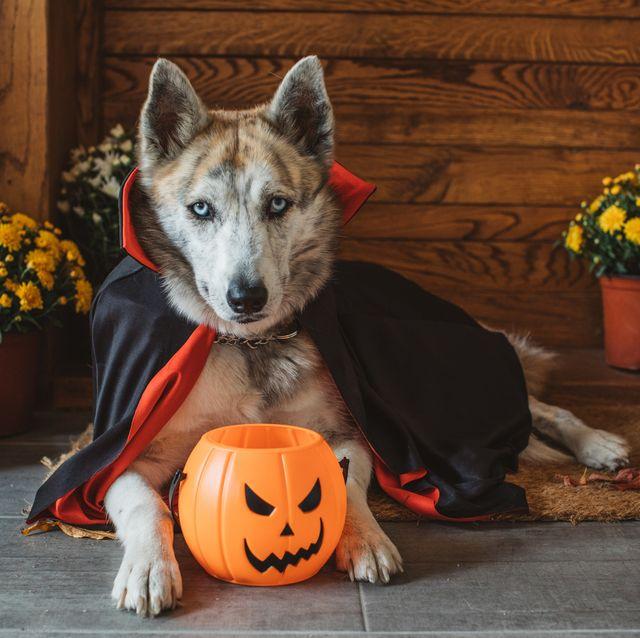 Halloween Dog Bat Costume| Halloween Costume Bat Wings| Happy Halloween Costumes for Pet DOG