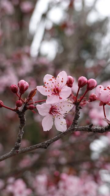 Plano de Fundo Fores de Cherry Blossom