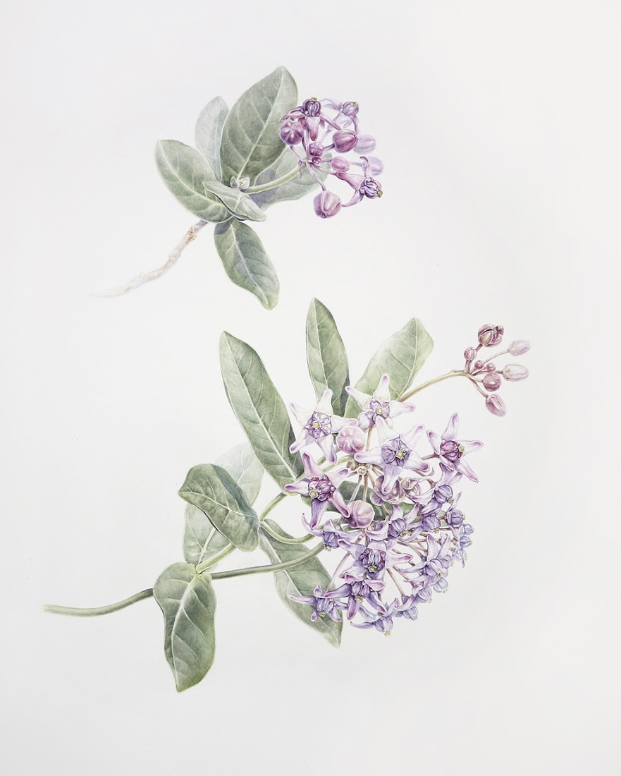 The Crown Flower: Painting Calotropis gigantea for the IDSBA exhibition