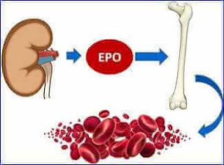 EPO eritropoetin
