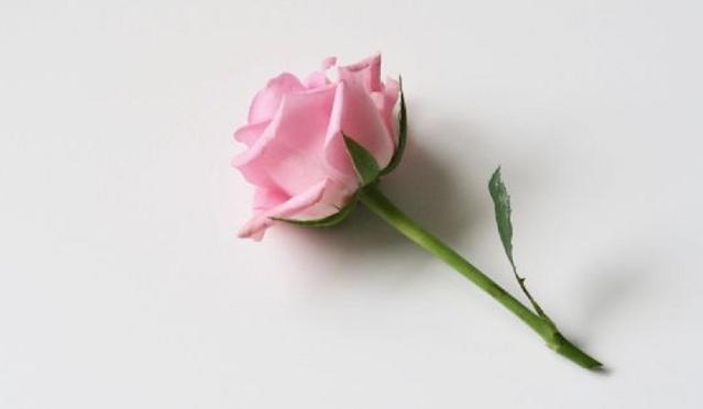 bunga mawar merah muda