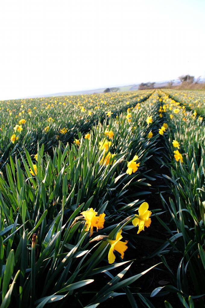 Daffodils in Cornwall - The Wayfarer