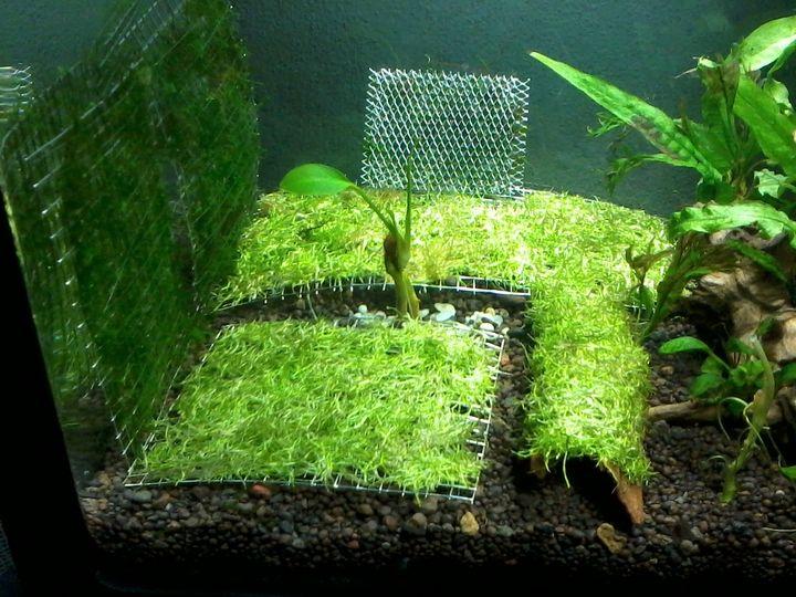 Rêu Ricca được buộc vào các vĩ inox và cho vào bể thủy sinh