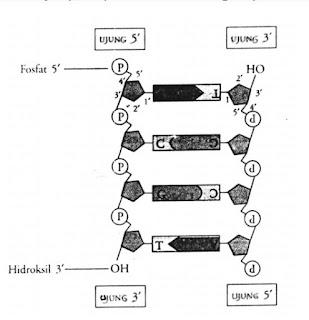 ujung 5 dan 3 pada untai polinukleotida merujuk pada posisi atom c dari