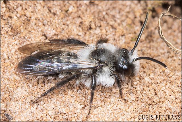 blogs3643_Andrena_cineraria_male.jpg