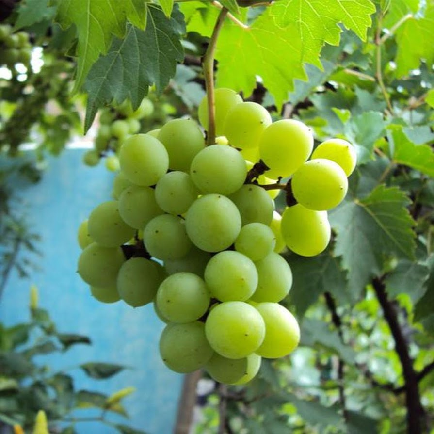 Bibit Tanaman Buah Anggur Hijau Jawa Tengah