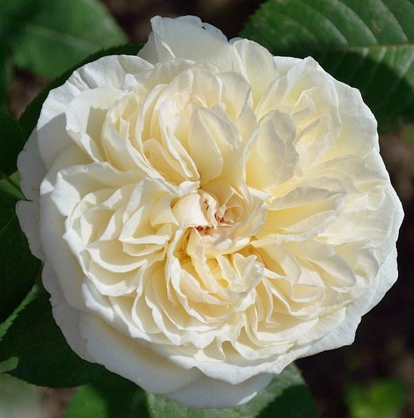 Mariangela Melato сорт розы фото саженцы